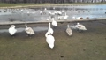 Many swans stand by the lake  75303365
