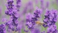 Honey bee on a lavender flower, Provence 75404273
