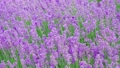 Lavender bushes closeup, purple flowers of lavender. 75405060