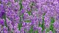 Lavender bushes closeup 75405070