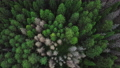 Evergreen Coniferous Forest. Aerial Top View from Above 75418884