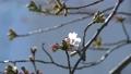 봄의 꽃, 일본의 꽃, 벚꽃 75484507