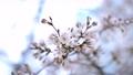 봄의 꽃, 일본의 꽃, 벚꽃 75484508