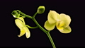 Blooming Yellow Orchid Phalaenopsis Flower on Black Background. Time Lapse. 4K. 75496745