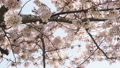 Low angle view of beautiful sakura  tree in spring 75507931