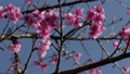 Pink flowers blooming on tree with blue sky in spring 75507943