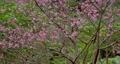 在沖繩4K亞熱帶森林中盛開的櫻花放大 75558569