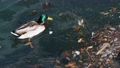 wild duck swimming in plastic rubbish garbage polluted trash sea 75593723