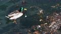 wild duck swimming in plastic rubbish garbage polluted trash sea 75593723