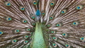close up beautiful male peacock open tail 75662367
