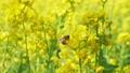 菜の花とミツバチ 75666803