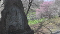 [대왕 와사비 농장] 석불과 매화 [초점 보내] 75706892