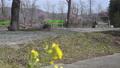 [대왕 와사비 농장] 유채 꽃과 매화 [초점 보내] 75735265