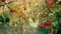 Apples on the tree at the garden 75771245