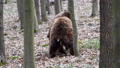 Two brown adult bears play or fight in the spring forest. Wild animals in the natural environment  75776798