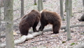 Two brown adult bears play or fight in the spring forest. Wild animals in the natural environment  75776799