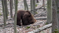 Two brown adult bears play or fight in the spring forest. Wild animals in the natural environment  75776800