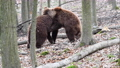 Two brown adult bears play or fight in the spring forest. Wild animals in the natural environment  75776801