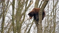 Brown bear cub climbs a tall tree and plays. Wild animals in the natural environment  75776802