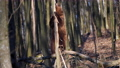 Adult brown bear in the spring forest peels the bark from a tree 75776803