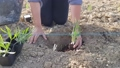 Farmer land cultivation. Planting to soil seedling in the vegetable garden. Agricultural work. Organic farming and spring gardening. Arable land, dirt. 75780444