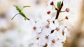 Spring cherry flowers on a sunny day. Spring white flowers background 75799862