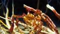 海藻に擬態するカニ 75812082