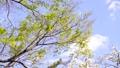 신록과 벚꽃과 바람 설비 신록에 초점 75827254