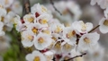 Springtime. Spring mood, awakening of nature. Spring flowers. Beautiful Orchard. White flower, flowering in the garden of trees, blooming Nature. 75840538