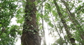 Thick, vine-covered tree trunk in tropical forest 75854695