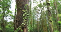 Thick, vine-covered tree trunk in tropical forest 75854697