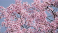 Beautiful cherry blossom sakura in spring time over blue sky 75864185