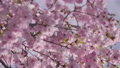 Closeup of pink cherry blossom branches swaying in the spring breeze 75864186