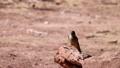 Close up shot of a beautiful Say's phoebe at Nevada 75882687