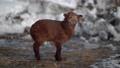 Newborn little lamb outdoor in winter 75883162