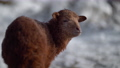 Newborn little lamb outdoor in winter 75883662