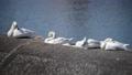 天鵝 鳥兒 鳥 75890036