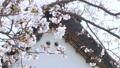 桜と古い日本家屋の屋根 75901926