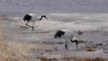 日本吊車 鶴 野生鳥類 75915710