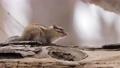 松鼠 動物 小動物 75916427