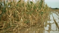 Flood corn mold blight maize yellow ears plants field damaged flooded water mud plantation damage catastrophe crops harvest mildew ear Zea mays green disaster calamity losses fall autumn, spill river 75936824