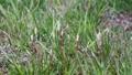 horsetail, vegetation, vegetative 75955561