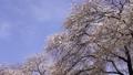 cherry blossom, cherry tree, fake buyer 75957892