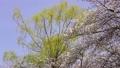 cherry blossom, cherry tree, fake buyer 75957893