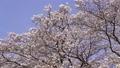 cherry blossom, cherry tree, fake buyer 75957894