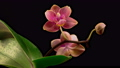 Blooming Peach Orchid Phalaenopsis Flower on Black Background. Time Lapse. 4K. 75961816