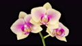 Blooming Yellow - Pink Orchid Phalaenopsis Flower on Black Background. Time Lapse. 4K. 75961818