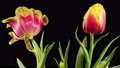 Beautiful Timelapse of Red Tulips Flowers Blooming on Black Background. 4K. 75961820