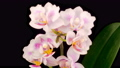 Blooming White Orchid Phalaenopsis Flower on Black Background. Time Lapse. 4K. 75961825