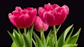 Beautiful Timelapse of Pink Tulips Flowers Blooming on Black Background. 4K. 75961826